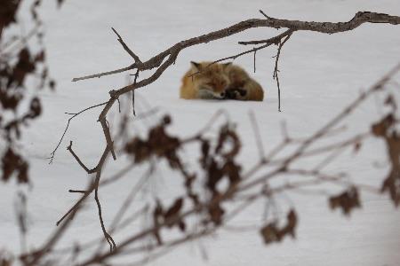 知床で出会った野生動物 キタキツネ
