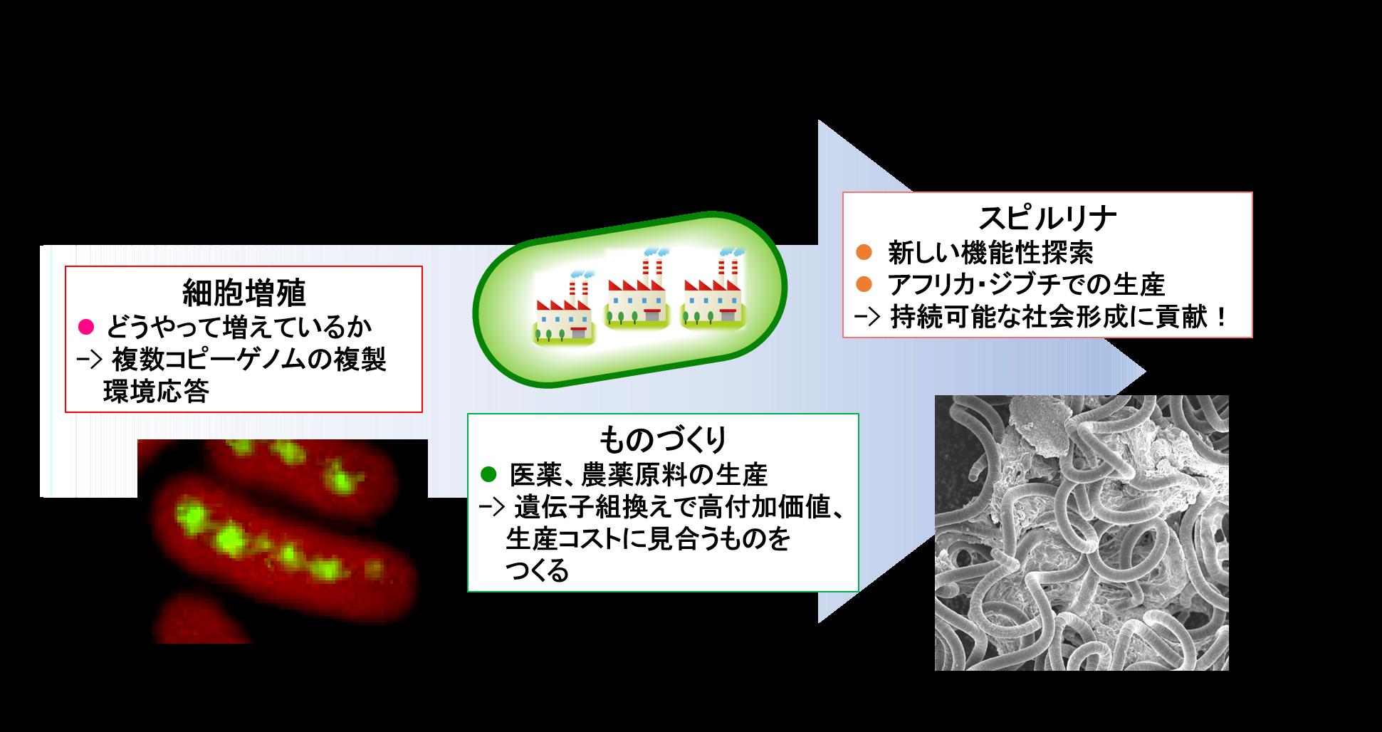 バクテリア シアノ