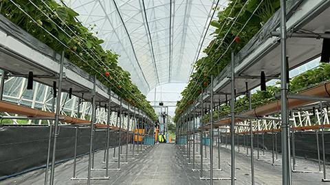 東京農業大学とロシア極東連邦大学との連携協定におけるいちご栽培プロジェクト